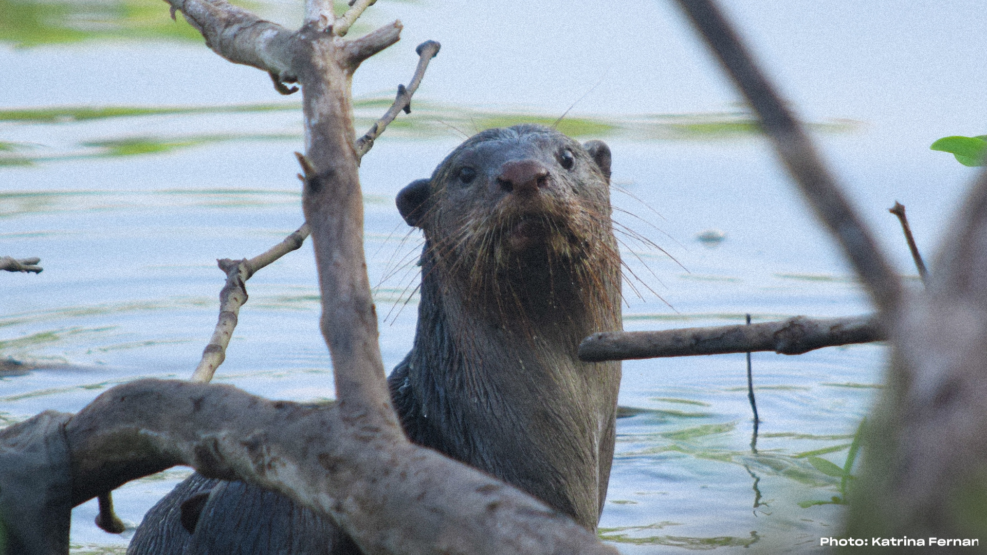 Katrina Fernandez Saving **otters**