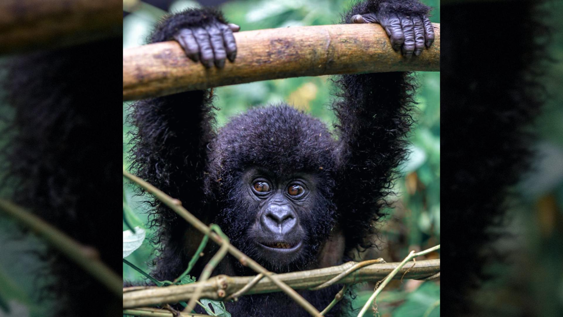 Richard Bagyenyi **Saving** the last **mountain gorillas**