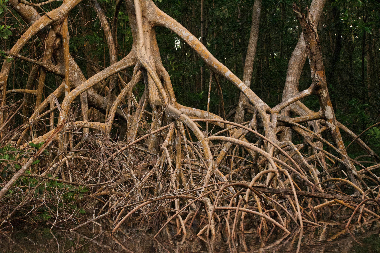 Leo Thom Restoring **mangroves** globally
