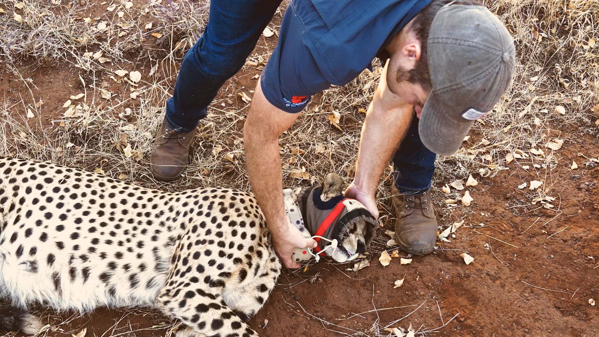 Vincent van der Merwe Saving Africa's **cheetahs**